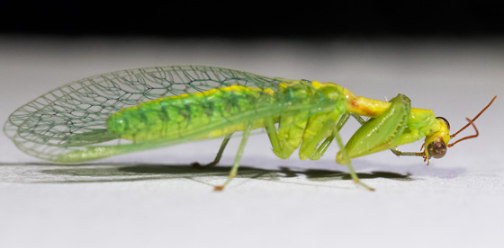 Very Small Mantis ??? - Zeugomantispa minuta