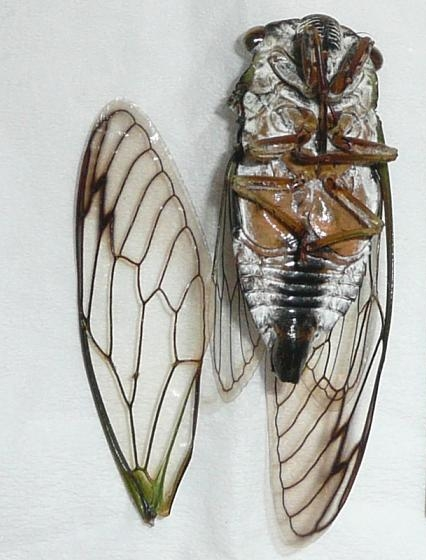 Fort Caswell cicada - Neotibicen latifasciatus - male
