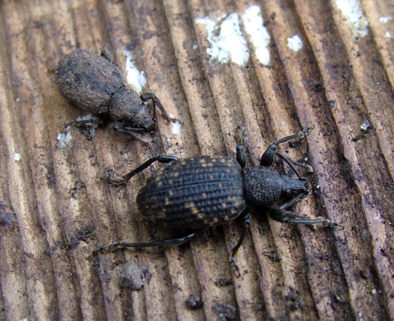 Two Weevils - Otiorhynchus sulcatus