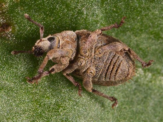 Brown Weevil - Romualdius scaber
