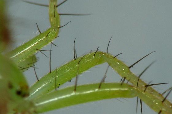 Legs with black bristles and fine white hair - Araneus cingulatus - male