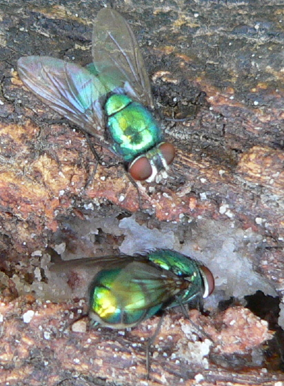 Common green bottle fly - Lucilia