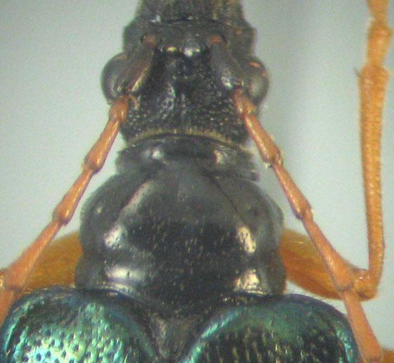 Pseudogaurotina abdominalis (Bland) - Pseudogaurotina abdominalis