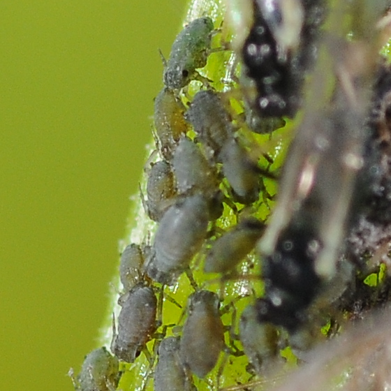 Flower aphids - Aphis