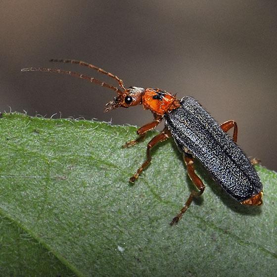 soldier beetle cultellunguis perpallens bugguidenet
