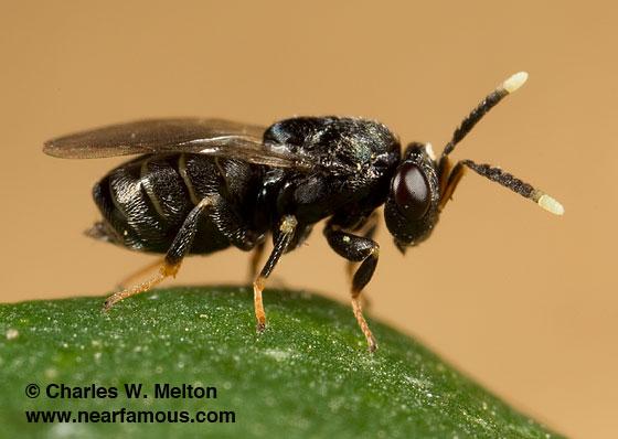 Tanaostigmodes albiclavus - female
