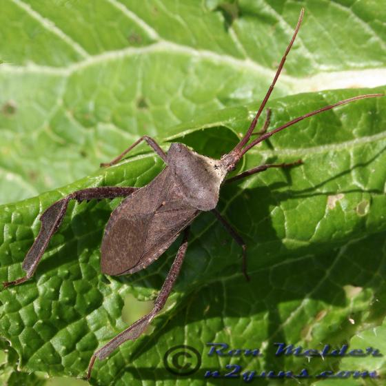 Leaffooted Bug - Acanthocephala declivis