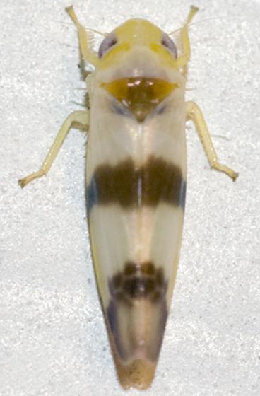 Leafhopper - Empoa venusta
