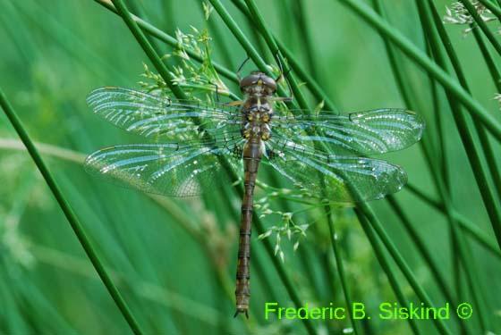 Stygian shadowdragon (DDF181)  Neurocordulia yamaskanensis  - Neurocordulia yamaskanensis