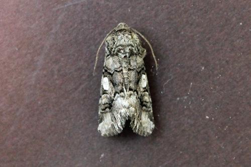 Moth 3 7-1-2013 - Hadena capsularis