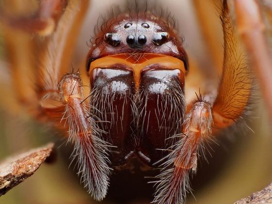 Callobius? - Callobius pictus - female