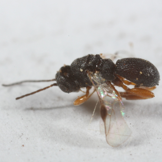 bean weevil parasites - Urosigalphus - male