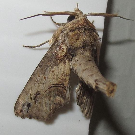 Hodges #8962 - Large Paectes Moth - Paectes abrostoloides