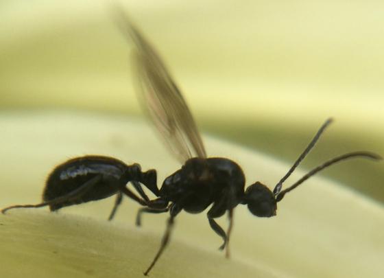 Ant - Monomorium