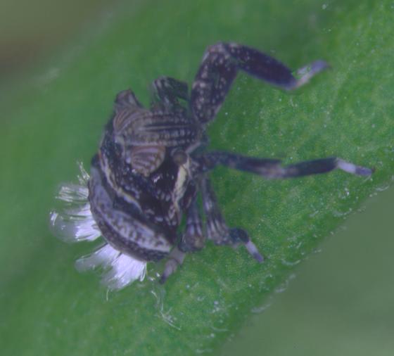 Dictyopharidae  - Phylloscelis atra