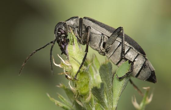 Unknown beetle - Epicauta funebris