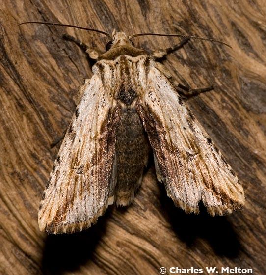 Trichorthosia diplogramma - Hodges #10615 - Hypotrix diplogramma