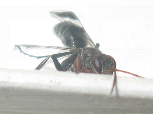 Spider Wasp with banded wings (Dipogon calipterus nubifer) - Dipogon calipterus - female