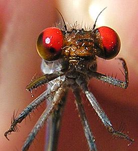 Fiery-eyed Dancer - Argia oenea - male
