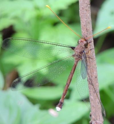Insect - Haploglenius
