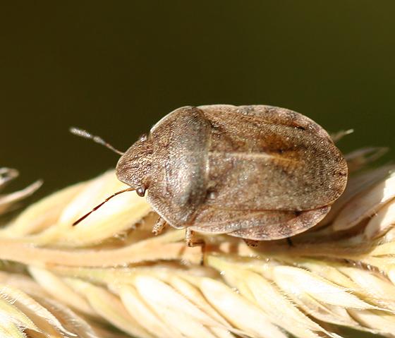 shield-backed bug - Eurygaster