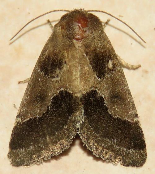 Thoreau's Flower Moth - Hodges#11141 - Schinia thoreaui