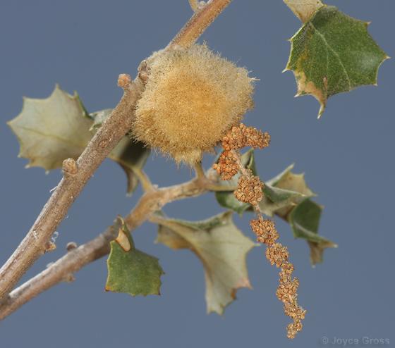 fuzzy Palmer's oak gall - Andricus burnetti