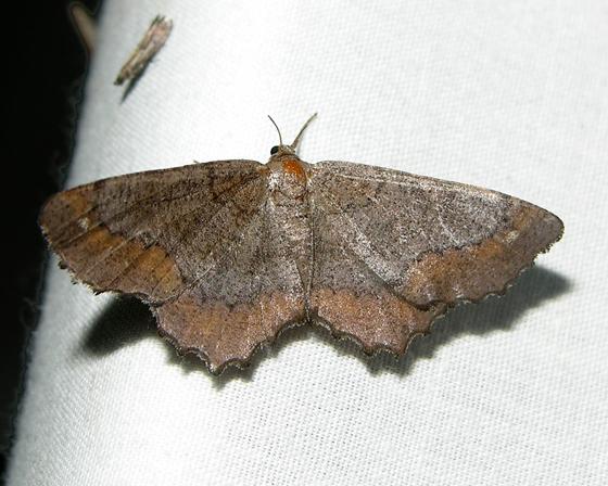 Moth 6 - Hypagyrtis esther