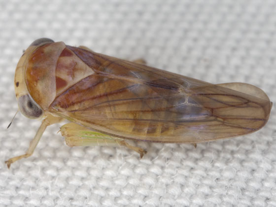 Leafhopper IMG_0684 - Idiocerus formosus - male