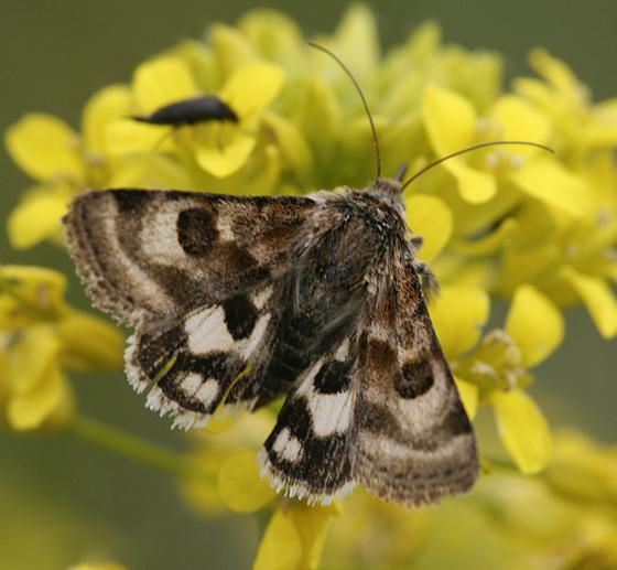 Heliothis ononis - Hodges 11077 - Heliothis ononis