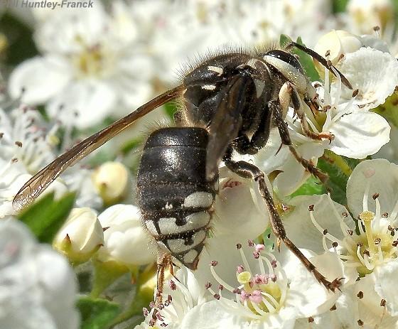 Hornet - Dolichovespula maculata - female