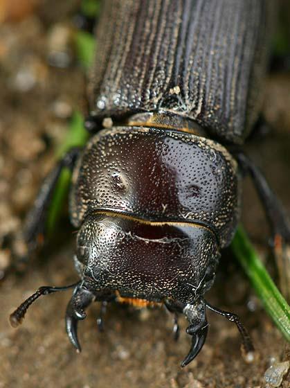 Antelope Beetle - Dorcus parallelus - male