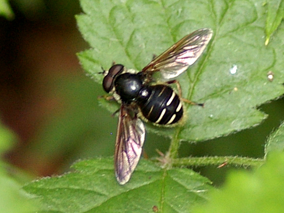 Syrphid Fly - Sericomyia militaris - male