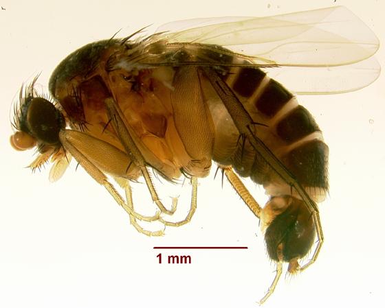 Diptera 7 (July 2010) - Anevrina luggeri