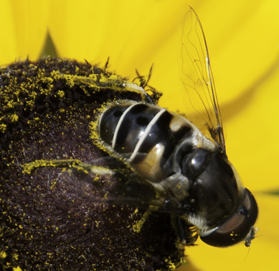 Another black Syrphid fly - Eristalis dimidiata - male