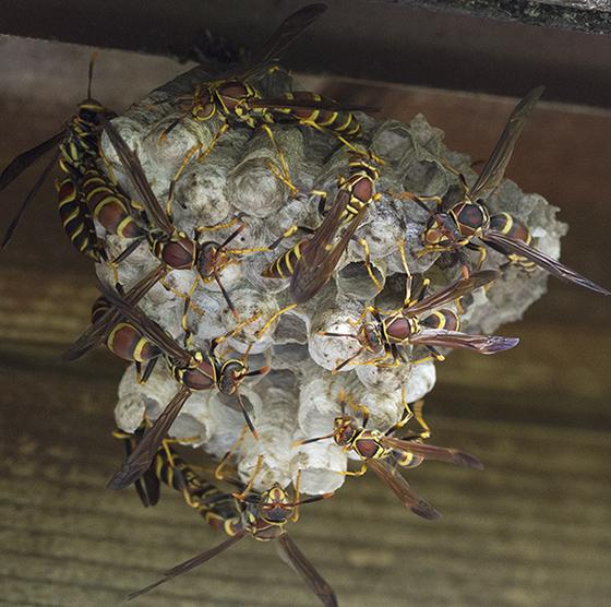 Paper Wasp Polistes  - Polistes exclamans