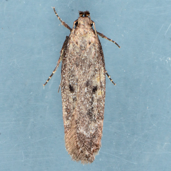 Moth for ID - Gelechia desiliens