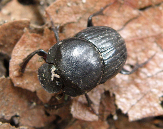 Dung Beetle? - Onthophagus coproides