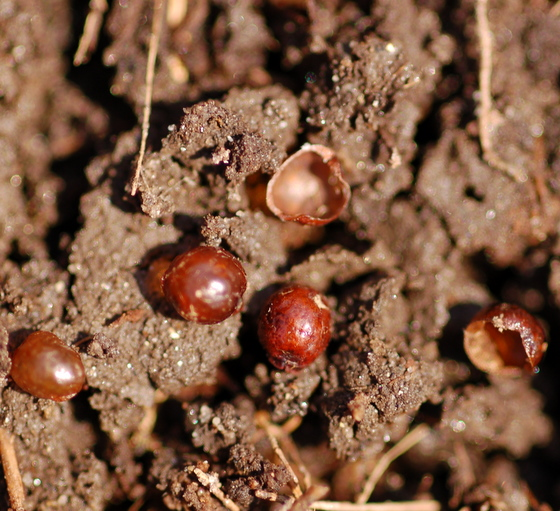 Underground scale insects?