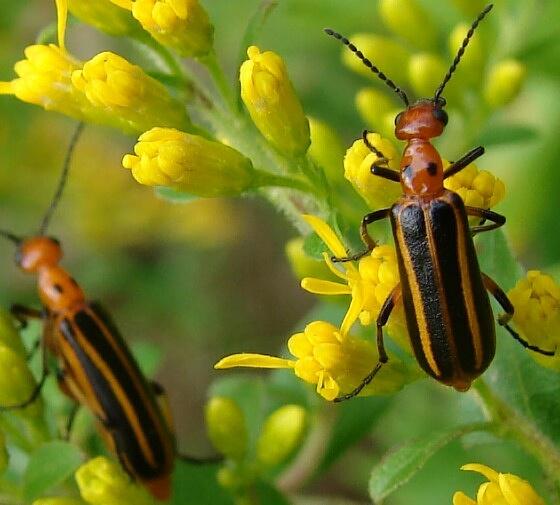 Blister beetle - Pyrota lineata