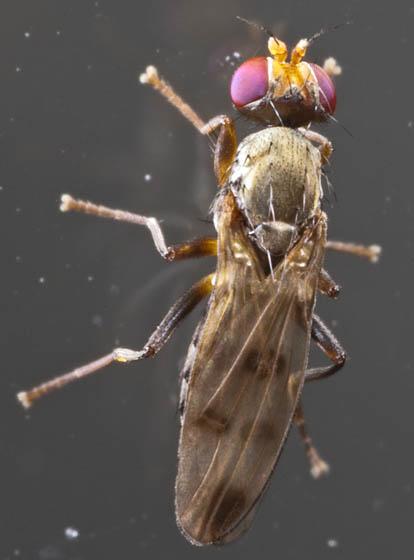 Family Opomyzidae ? - Geomyza tripunctata