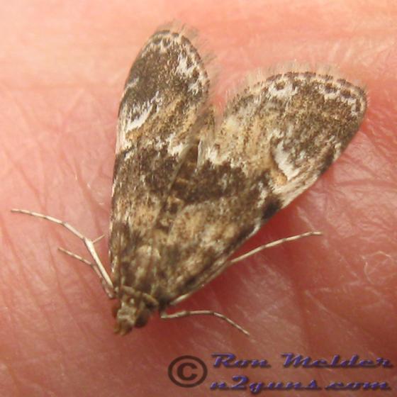 Moth 01 - Elophila obliteralis
