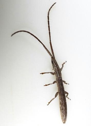 Slim Jim on a grass stem - Spalacopsis texana