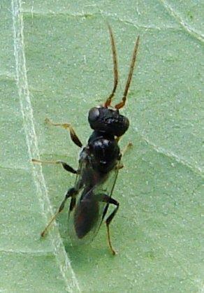 tiny wasp - Deinodryinus atriventris - male