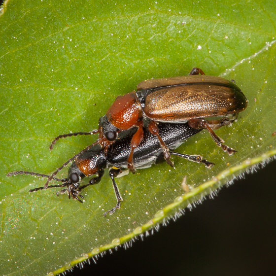 Mating Beetles for ID - Orsodacne atra - male - female
