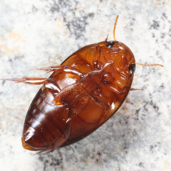 Burrowing Water Beetle - Hydrocanthus
