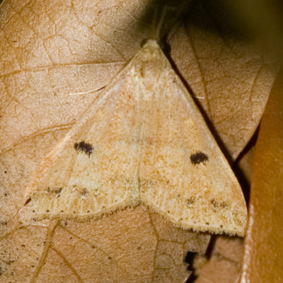 Renia Moth - Renia - female
