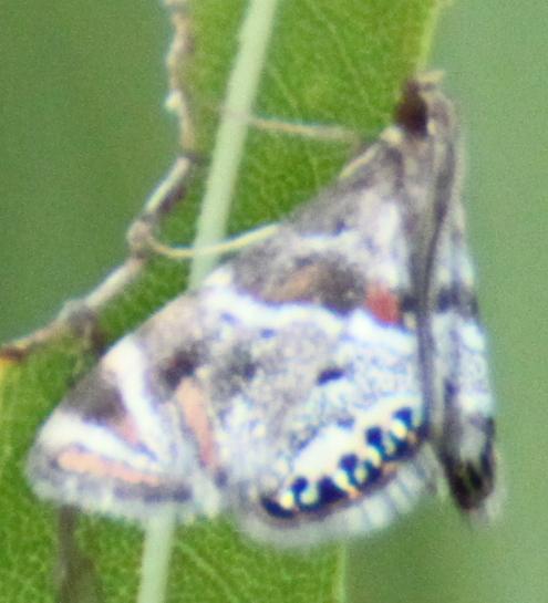 Hodges#4775?? - Petrophila jaliscalis