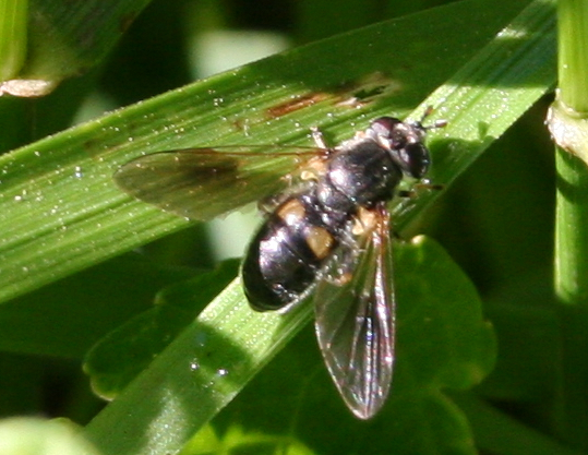 Fly ID Request [2008] - Pipiza - female