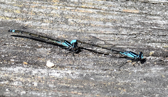 Skimming Bluet - Enallagma geminatum - male - female